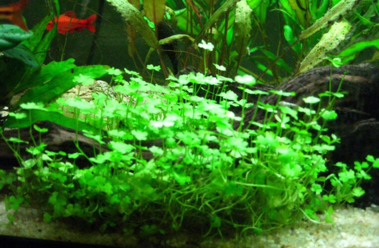 All you need to know about crypt balansae red, a Popular Aquarium Plant?